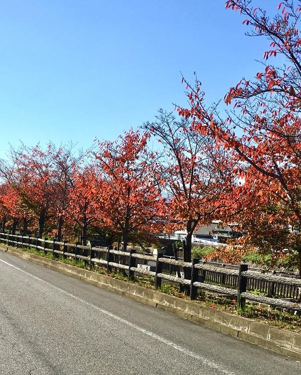 工房近くの紅葉する桜並木。